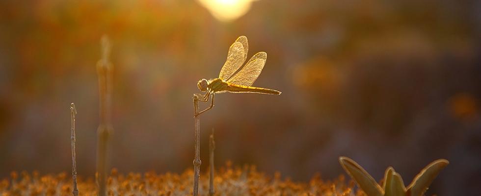 Libelle im Sonnenaufgang auf Kreta