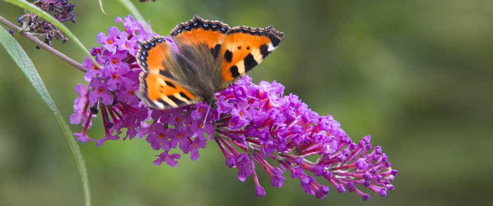 Makro: Schmetterling auf Flieder